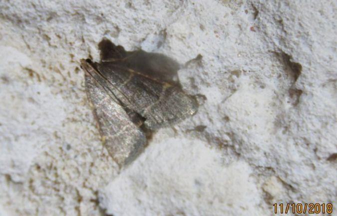Hypsopygia glaucinalis  - Georges Laurencin