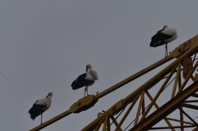 Cigogne blanche  - Bernard Jamet