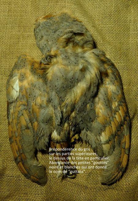 Effraie des clochers (T.a.guttata)  - Guy Labidoire