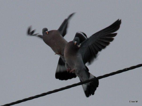 Pigeon ramier  - Elise Morange
