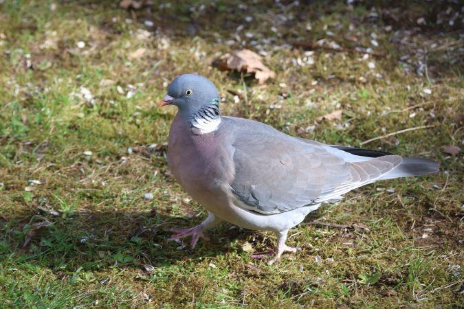 Pigeon ramier  - Martine Maurice