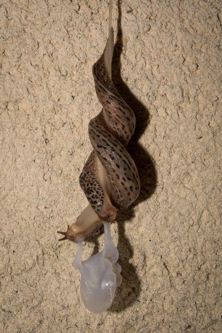 Limace léopard  - David Naudon