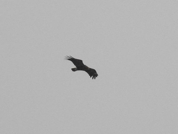 Aigle criard  - Antony Faure