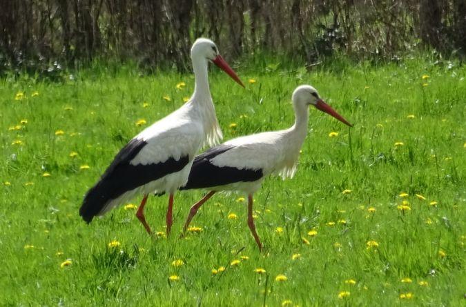 Cigogne blanche  - Maria Laine