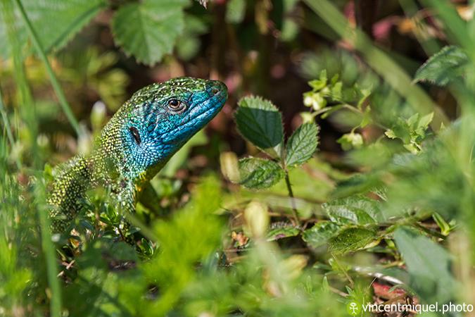 Lézard vert occidental  - Vincent Miquel