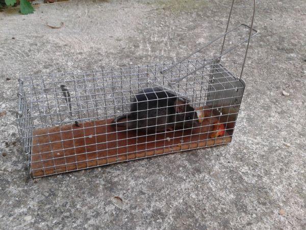 Rat noir  - Anonyme
