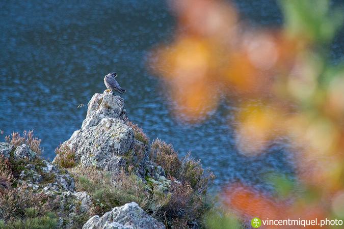 Faucon pèlerin  - Vincent Miquel