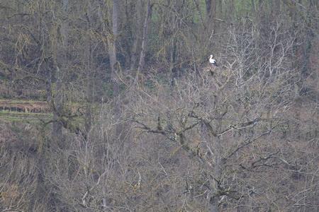 Cigogne blanche  - Francis Grunert