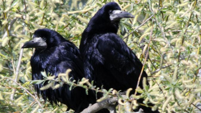 Corbeau freux  - Jean-Paul Lang