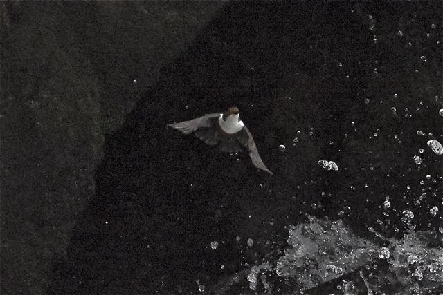 Cincle plongeur  - François-Michel Huguet