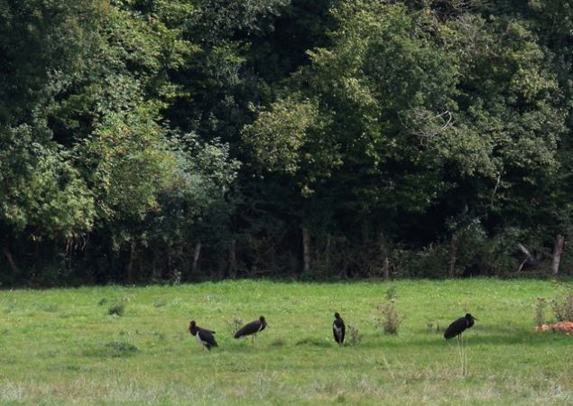 Cigogne noire  - Rémy Lepron