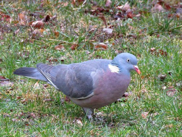 Pigeon ramier  - Nathalie et Marc Aubertin