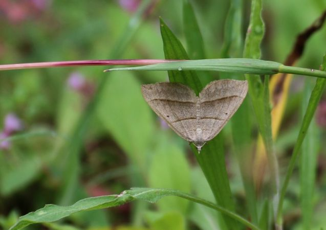 Scotopteryx luridata / mucronata  - Rémy Lepron