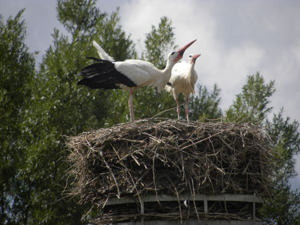 Cigogne blanche  - Danièle Semenjuk