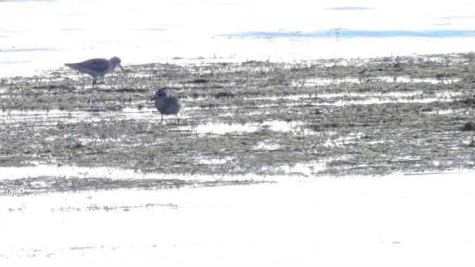Pluvier argenté  - Martine et François Poumarat
