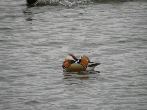 Canard mandarin  - Danièle Semenjuk