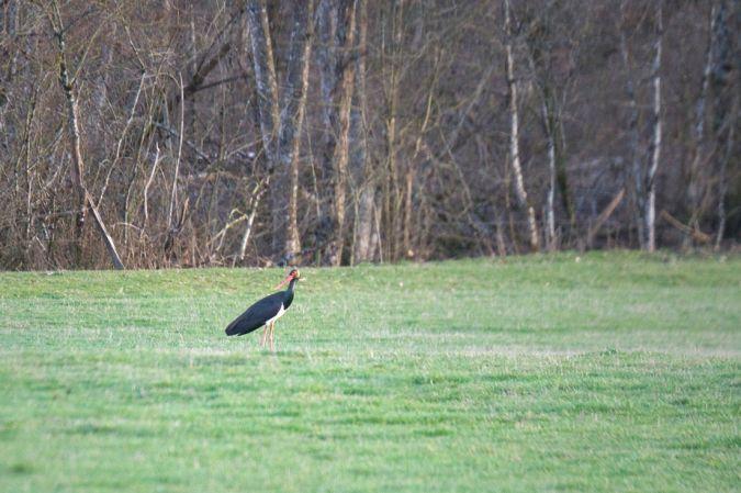 Cigogne noire  - Dominique Vançon