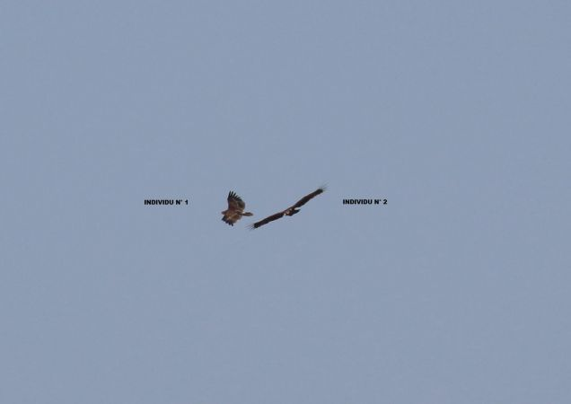 Aigle criard ou hybride pomarin x criard  - Simon Milliet