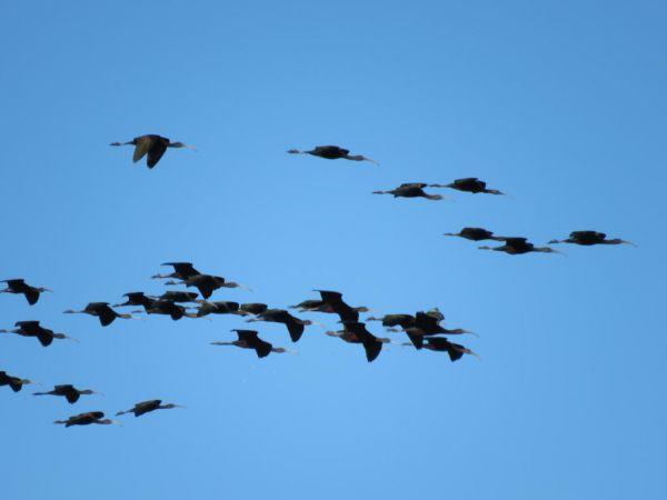 Ibis falcinelle  - Philippe Lenoir