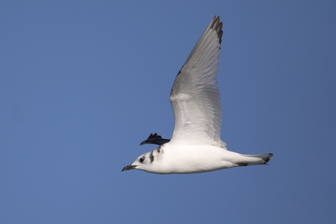 Mouette tridactyle  - Pascal Saulay