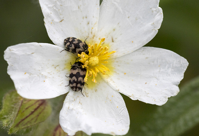 Coleoptera sp.  - Alain Bultez