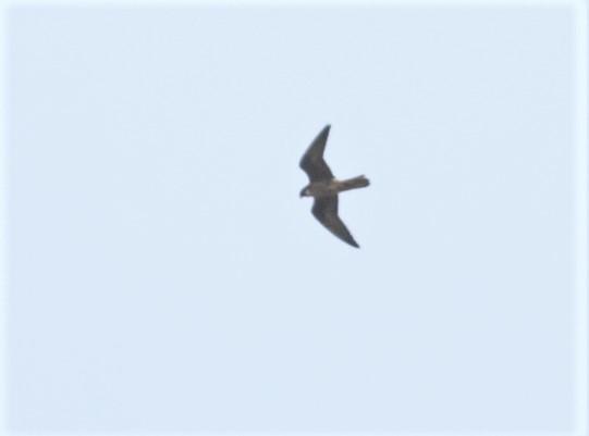 Faucon d'Eléonore  - Maurice Riekert (birding Languedoc)