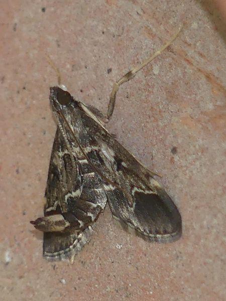Duponchelia fovealis  - Daniel Bizet(COGard)