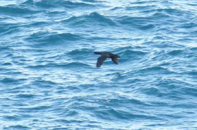 Cormoran huppé de Méditerranée  - Maurice Toupin(GOR)
