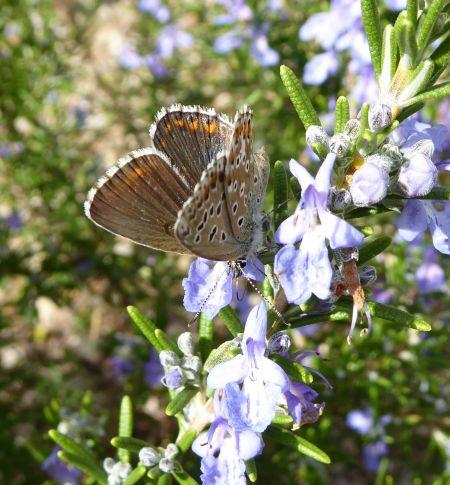 Argus (Azuré) bleu céleste  - Marie-Thé You