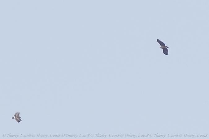 Aigle criard ou hybride pomarin x criard  - Thierry Laurent