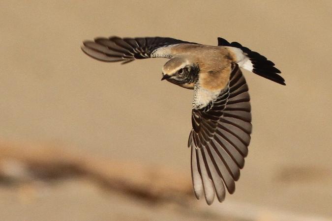Traquet du désert  - Romain Riols(LPO Aude)