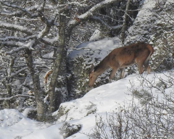 Cerf élaphe  - Rémi Destre(ALEPE)