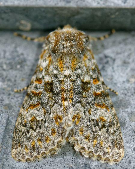 Polymixis flavicincta  - Benoit Baudin