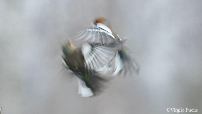 Pinson des arbres  - Virgile Fuchs