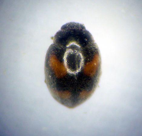 Nephus (Nephus) quadrimaculatus  - Mathurin Carnet