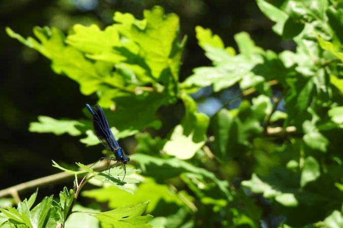 Caloptéryx éclatant  - Emmanuel Noyer