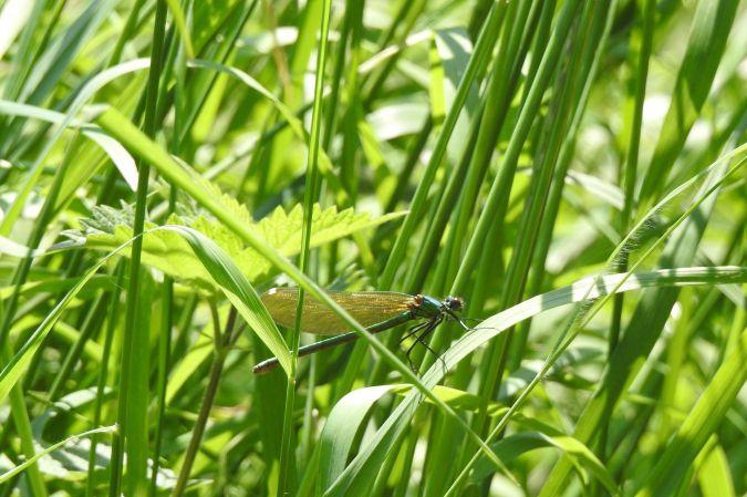 Caloptéryx vierge  - Emmanuel Noyer