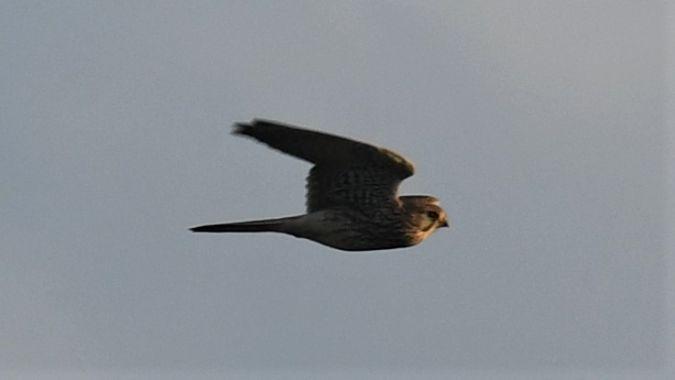 Faucon émerillon  - Virgile Fuchs