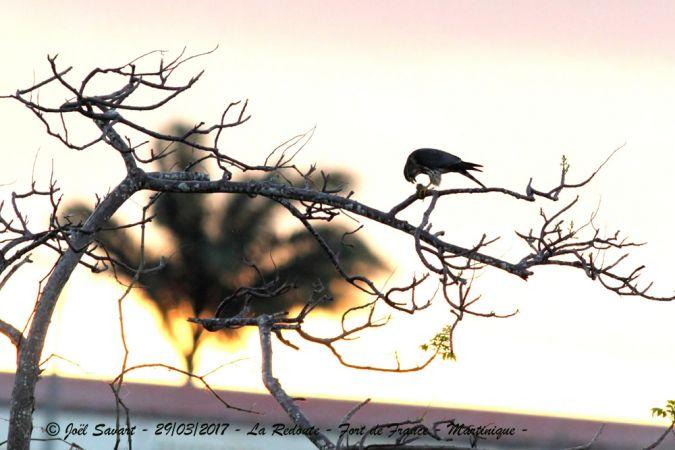 Faucon émerillon  - Joel Savart