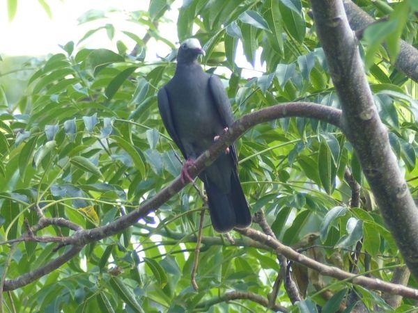 Pigeon à couronne blanche  - James Jean Baptiste