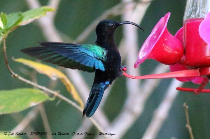 Colibri madère  - Joel Savart