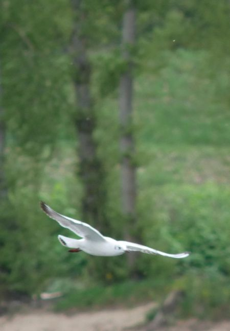 Mouette rieuse  - Charles Paillet