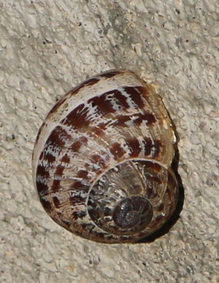 Escargot petit-gris  - Jean Louis Dupuy