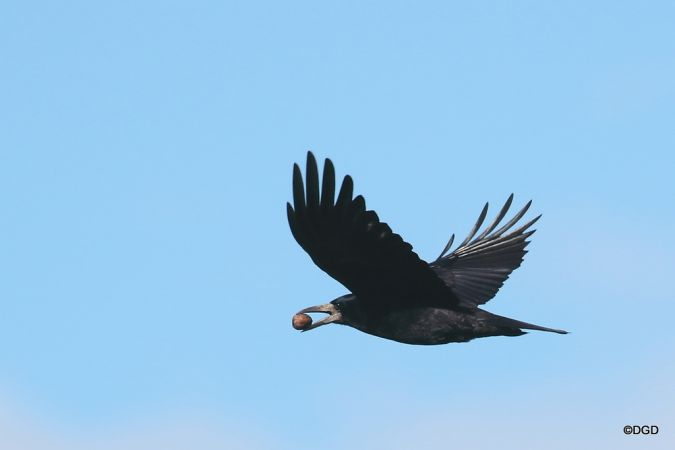 Corbeau freux  - Daniel Dupuy