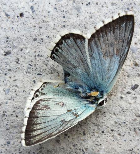 Bleu-nacré (Argus bleu-nacré)  - Jean-Luc Ferrière