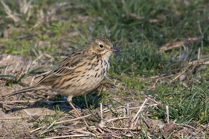 Pipit farlouse  - Philippe Langlois