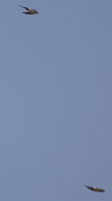 Hirondelle rousseline  - Frederic Maisongrande