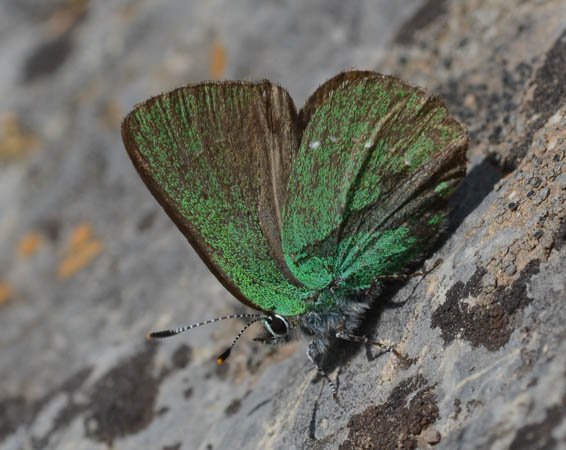 Argus vert  - Michel Colombe