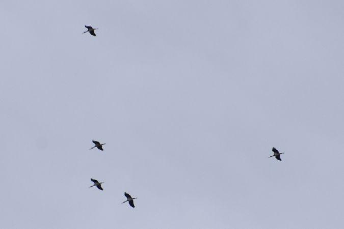 Cigogne noire  - Muriel de Schoenmacker