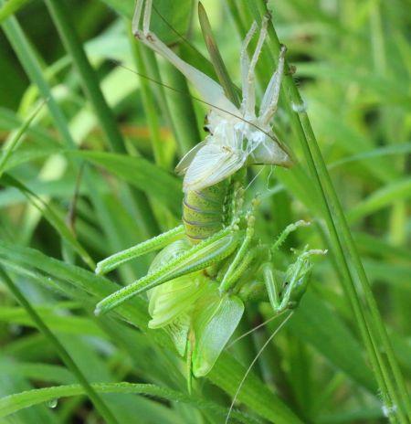 Grande Sauterelle verte  - Thiery Louvel